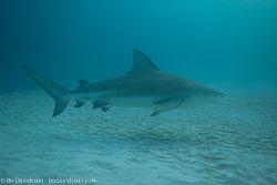 BD-101205-Playa-del-Carmen-2614-Carcharhinus-leucas-(Müller---Henle.-1839)-[Bull-shark.-Tjurhaj].jpg